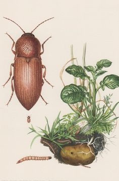 1957 Obscure Click Beetle Antique Print Elateridae by Craftissimo, €12.95