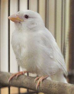albino bird, parakeet! I had one years ago named valentine.don bpught it for me for Valentine's.