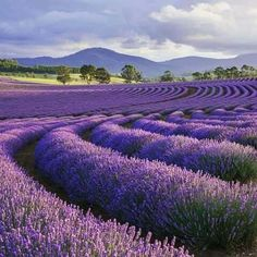 Wonderful Photos Lavender fields Suggestions No matter whether movie village or perhaps america, lavender is actually needed for having recreatio Lavender Blue, Lavender Fields, Lavender Flowers, Purple Flowers, Lavander, Lavender Cottage, Beautiful Flowers, Beautiful Places, Lavender Benefits