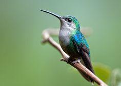 Thalurania_colombica_female_in_Costa_Rica.jpg (3204×2289)