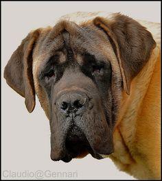 I am an English Mastiff ..