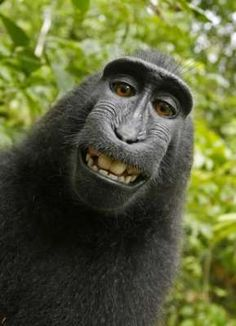 De aap die selfies maakte sleurt nu eigenaar toestel voor de rechter. Echt.