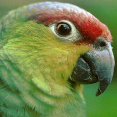 Amazon Parrot. I think that this is a Lilac Amazon. Looks a lot like the Red Lored, but the Lilac has purple behind the red.