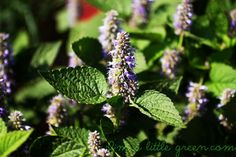 Beat The Summer Cold With Anise Hyssop! The smell of Anise Hyssop is just beautiful and so is the tea!