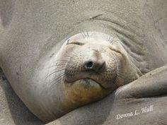 You'll meet sleepy elephant seals on a Coastal California Road Trip.