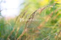 Grass ears in sunlight photographed in late summer. Beautiful nature background
