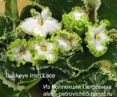 Картинки по запросу Buckeye Irish Lace