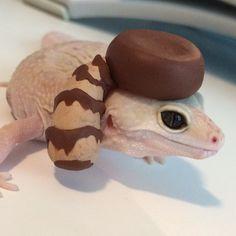 Coonskin cap Leopard Gecko Cute, Cute Gecko, Baby Leopard, Cute Baby Animals, Animals And Pets, Funny Animals, Cute Reptiles, Reptiles And Amphibians, Tiny Dinosaur