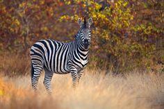 Simply-Zebra