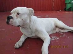 on KILL LIST!!! BELLA - ID#A1639807 I am an unaltered female, white and brown brindle American Bulldog. The shelter staff think I am about 2 years old I have been at the shelter since Aug 28, 2014. — hier: Miami Dade County Animal Services. https://www.facebook.com/urgentdogsofmiami/photos/pb.191859757515102.-2207520000.1409344530./831571193543952/?type=3&theater