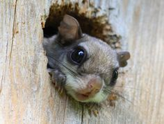 Baby Flying Squirrels | Baby Flying Squirrel Playing Peek A Boo