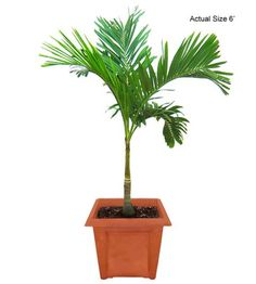 easy to care for outdoor palms in planter - Google Search
