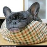 French Bulldog Chillin' • from APlaceToLoveDogs.com • dog dogs puppy puppies cute doggy doggies adorable funny fun silly photography