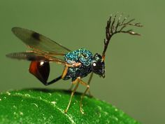 This is a Eucharitid wasp. A strange-looking beast, indeed. This group of insects parasitizes ants.