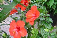 ☑︎ Hibiskus - Växten är sannolikt ofarlig