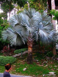 madagascar palm pachypodium lamerei san diego. Black Bedroom Furniture Sets. Home Design Ideas