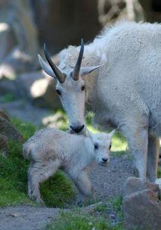 Rocky Mountain goat ( Oreamnos americanus) | Oregon Zoo #Goat