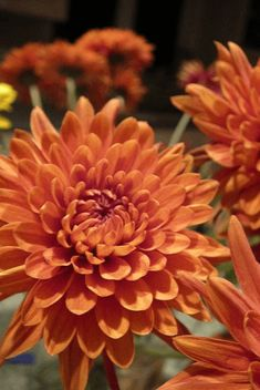 Orange chrysanthemum meaning Sunflowers And Daisies, Fall Flowers, Orange Flowers, Beautiful Flowers, Wedding Flowers, Orange Color, Chrysanthemum Meaning, Chrysanthemum Flower, Flower Drawing Images