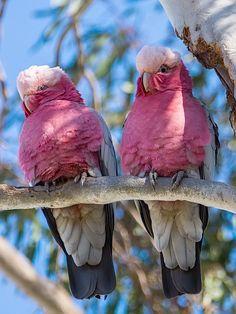 Australian Parrots ~ photo by David Cook