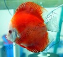 Mandarin Passion Discus from #DiscusDeliveryUSA