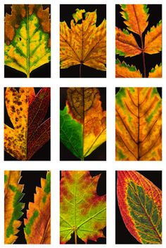 leaves during autumn Leaves Of Grass, Plant Leaves, Tumblr Pattern, Leaf Projects, Organic Structure, Autumn Scenes, Bath And Beyond Coupon, Fall Is Here, Leaf Art