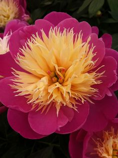 Peony  ...I love the ones I don't see around, they are all beautiful....this one gorgeous...