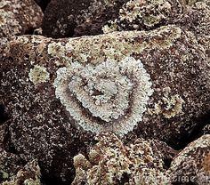 Lichen en forme de coeur sur la roche