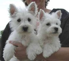 love the westies