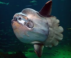 Mola Mola: The Weirdest Fish in the Ocean? By Craig Leisher When it hatches, a Mola mola is the size of a pinhead but will grow to be the heaviest bony fish in the ocean—and the weirdest. Scary Sea Creatures, Deep Sea Creatures, Fauna Marina, Weird Fish, Underwater Life, Large Animals, Unique Animals, Sea And Ocean, Fish Ocean