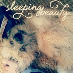 #borderterrierpuppy #borderterrier #dog #sleepingbeauty
