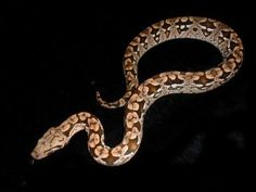 Dumeril's boa (Boa dumerili) is a non-venomous boa species found on Madagascar and Reunion Island