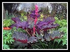 Ornamental Rhubarb Red -- for Landscaping Rheum Palmatum 'Tanguticum' 'Rote Aulese' --SEE DIFFERENT TYPES OF RHUBARB FOR DECORATIVE PURPOSES