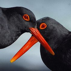 Photograph by @thomaspeschak  African Black Oystercatchers breed during the height of South Africa's summer tourist season. They lay there eggs in a shallow scrape in the sand or on bare rocks, habits that make them very vulnerable to human disturbance. Unpublished shot from 2014 #natgeo magazine story on Southern African Marine Reserves.