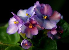 One of the most delicate pastel blended bloom colors of African Violets