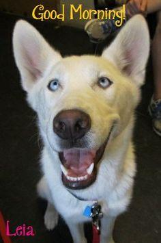1000+ images about husky memes on Pinterest | Husky, Husky ...