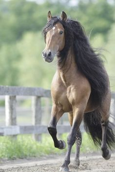 Atila....one of Cavalia's horses Long Manes Horses v\Learn about #HorseHealth #HorseColichttp://www.loveyour.horse