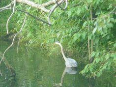 Blue Heron, Dragon Run Delaware City, Blue Heron, Dragon, Bird, Animals, Animales, Animaux, Birds, Dragons