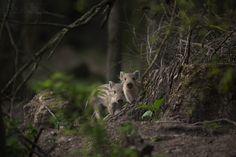 https://flic.kr/p/WKXLLU | Wild Boar | Wild Boar, Forest of Dean.