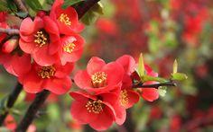 Natureza, ramo, flores de romã, folhas vermelhas, Primavera, flor Vetor
