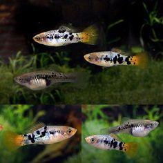 Aquarium Filters And Aquarium Supplies Big Aquarium, Tropical Fish Aquarium, Freshwater Aquarium Fish, Fish Aquariums, Swordtail Fish, Platy Fish, Saltwater Tank, Saltwater Aquarium, Betta Fish Care