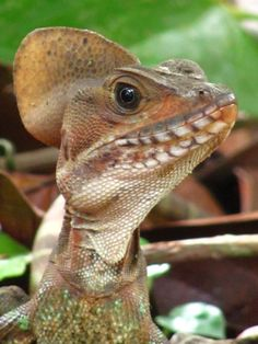 Western Basilisk- I had one of these as a pet when I was 14, then my mom one day said that Basilisks are not suitable for household entertainment and now poor Jimmy is buried under the old oak tree in our backyard.