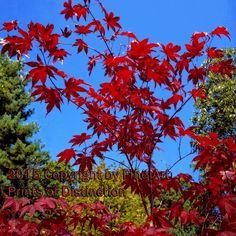 Japanese Maple in the Blue Sky Art Print Available from brandywinegeneralstore.com #japanesemaple #wallart #summerflora