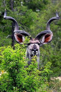 ˚Kudu Bull - Africa