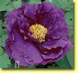 This site has so many peonies!  I never saw a purple one before!