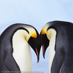 Couple of Emperor Penguins in Antartica . Ritual greeting at the reunion Image by Steve Bloom Steve Bloom, The Reunion, Pyrography, Natural World, Emperor Penguins, Christmas Ideas, Christmas Cards, Wildlife, Birds