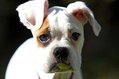 Cute White Boxer
