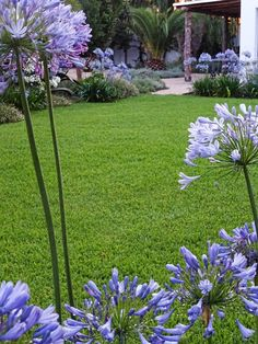 Agapanthus by the lawn
