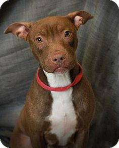 Sophie is a Pit Bull available for adoption in Alton, IL: http://www.adoptapet.com/pet/8422751-alton-illinois-american-pit-bull-terrier-mix