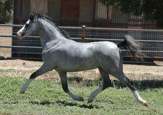 Welsh mountain pony  #horses