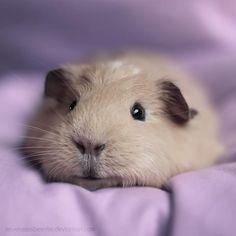 boo the guinea pig